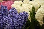 Stunning hyacinths . . .