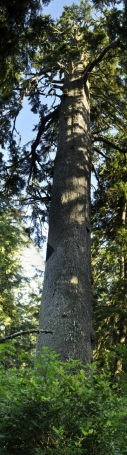 The Big Spruce at Cape Mears (aka as 'Bruce the Spruce') - the tallest spruce in Oregon