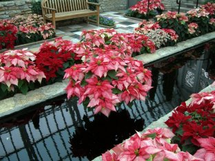 A stunning display of poinsettias . . .
