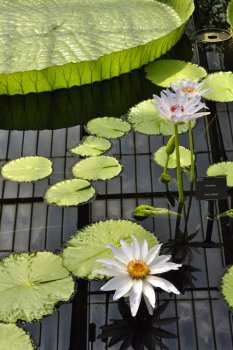 In the Waterlily House