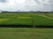 Rice-maize rotation field plots