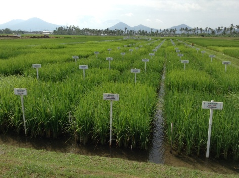 INGER demonstration plots - the variation between varieties is striking