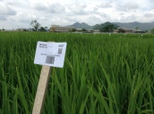 IRRI is now using bar coding in the field for all its breeding lines