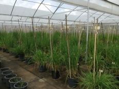 Soccie keeps this wild rice nursery in fantastic shape