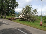 Many of the famous pili trees along Pili Drive from UPLB to IRRI were uprooted