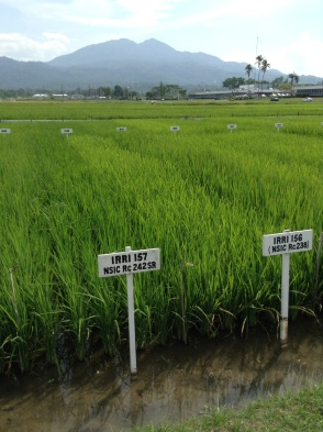 Demonstration plots of IR varieties, with iconic Mt Makiling in the distance