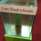An impressive display of flood-tolerant rice