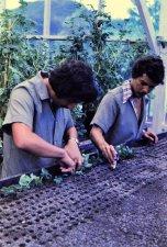 Planting stem cuttings.