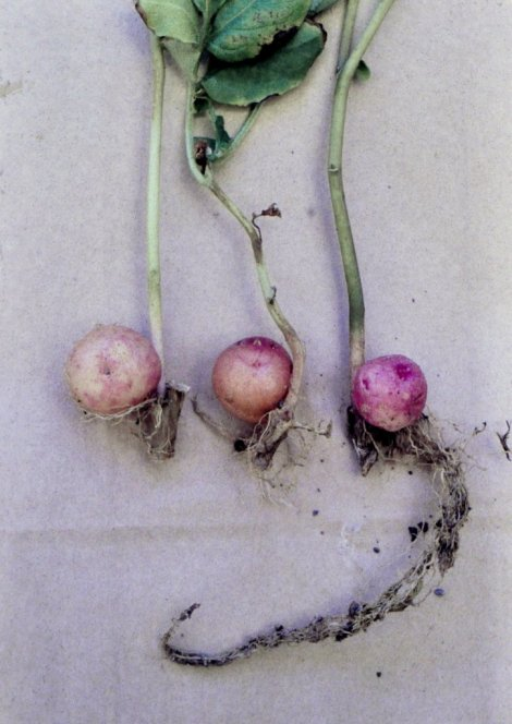 The axillary bud develops into a small tuber. They can be difficult - but not impossible - to sprout.