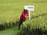 Dr Nollie Vera-Cruz explains how diseases can be reduced by planting mixtures of rice varieties