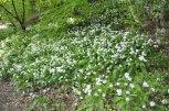 Ramsons (Allium ursinum) in abundance in woodland along the River Ericht