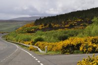 The hills were golden with gorse (and broom), south of Wick on the northeast coast
