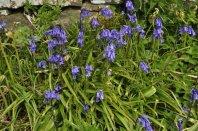 The bluebells of Scotland!