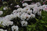 Rhododendron at Inverewe Garden