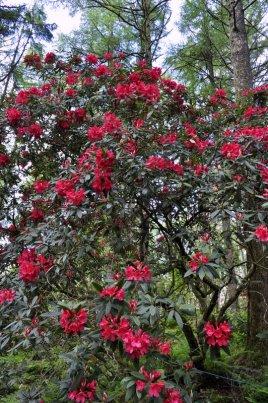 Rhododendron at Arduaine Garden