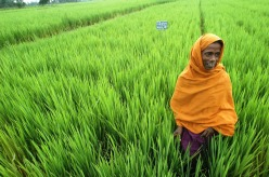 This rice farmer in Bangladesh benefits from new rice varieties.