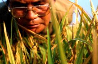 Rice resrachers look for resistance to pests and diseases.