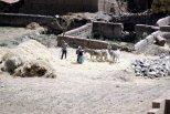 Threshing barley using donkeys.