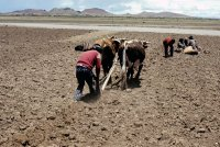 Prpearing the land to grow potatoes on the altiplano.