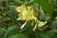 Giant Butterfly Lily (Hedychium coronarium var. maximum).