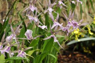 Milyassia orchid (Brassia x Miltonia).