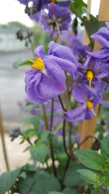 Solanum neorossii, 2n=2x=24, from Argentina