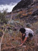 Manuel collecting in La Gomera