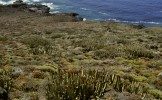 Among euphorbias on the north coast of Tenerife