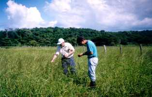 Collecting Oryza latifolia in northwest Costa Rica