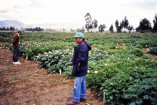 In the field looking at cultivated potato landrace varieties. Quat Ng (IITA) on the left.