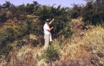 Collecting escobon (Chamaecytisus proliferus) in Tenerife in 1989