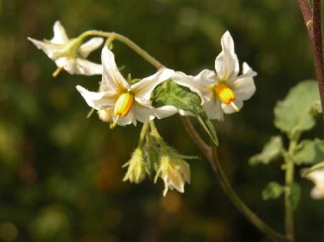 Solanum circaeifolium