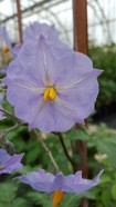 Flowers of Solanum brevicaule