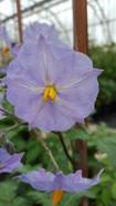 Flowers of Solanum brevicaule