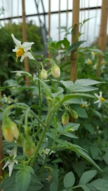 Solanum jamesii