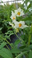 Solanum lignicaule