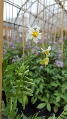 Solanum pinnatisectum