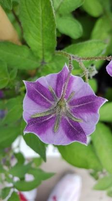Solanum schenckii