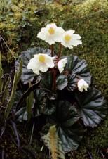 Begonia clarkei Hook.