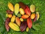 Cacao_diversity-AllanMata-Wilbert Phillips