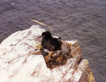 Shag on its nest