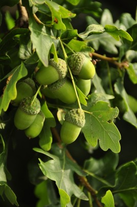 Beautiful acorns on the pedunculate oak, Quercus robur
