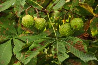 Soon there will be conkers on this horse chestnut