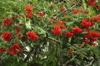 Abundant berries on a rowan tree