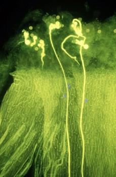 Pollen tubes 1